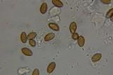 Psilocybe mescaleroensis image