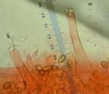Inocybe pusio image