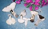 Russula albonigra image