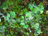 Image of Pseudocyphellaria berberina