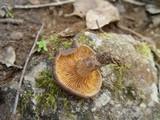 Lactarius subumbonatus image