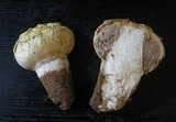 Agaricus texensis image