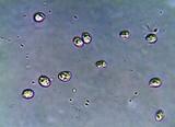 Tricholomopsis formosa image