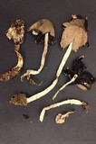 Coprinopsis nivea image