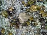 Umbilicaria polyrrhiza image