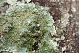 Usnea endochrysea image