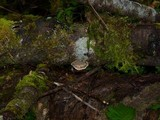 Phlebia radiata image