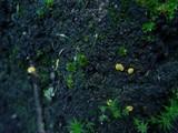 Lachnum pygmaeum image