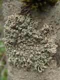 Image of Lepolichen coccophorus