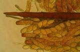 Cheilymenia stercorea image