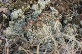 Cladonia cariosa image