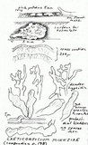Corticium minnsiae image