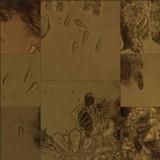 Arthonia stellaris image