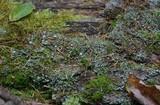 Cladonia grayi image