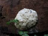 Reticularia lycoperdon image