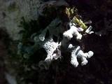 Hypogymnia tubulosa image