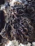 Collema furfuraceum image