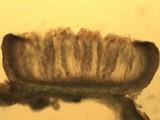 Leptogium lichenoides image