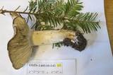Tricholoma vernaticum image