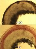 Caloplaca holocarpa image