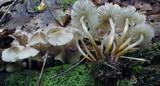Mycena inclinata image