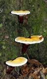 Ganoderma curtisii image