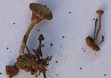Arrhenia obscurata image