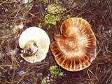 Tricholoma zelleri image