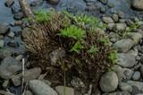 Scutellinia umbrorum image