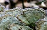 Phaeocalicium polyporaeum image