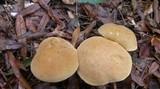 Tylopilus tabacinus image