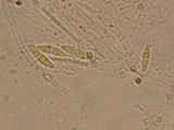 Unguicularia carestiana image