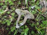 Camarophyllopsis atrovelutina image