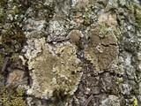 Physconia grisea image