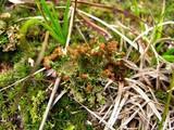 Cladonia sobolescens image