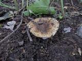 Russula praetervisa image