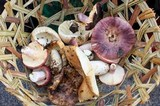 Russula madagassensis image