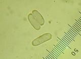 Amanita praelongispora image