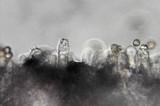 Cortinarius austroviolaceus image