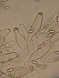Inocybe lacera image