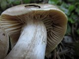 Cortinarius pinophilus image
