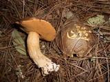 Suillus fuscotomentosus image