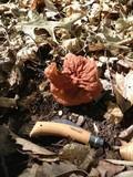 Gyromitra brunnea image