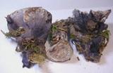 Hydnellum cyanopodium image