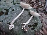 Amanita longicuneus image