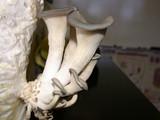 Pleurotus columbinus image