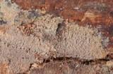 Mycoacia fuscoatra image
