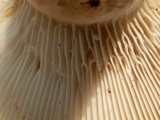 Lactarius subvellereus image