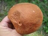 Leccinum aurantiacum image