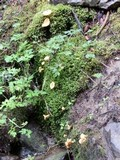 Cantharellus enelensis image